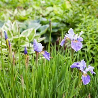 Iris sibirica 'China Spring'