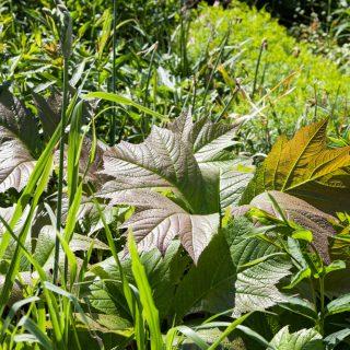 Rodgersia podophylla - bronsrodgersia