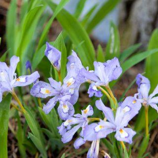 Iris cristata - krypiris