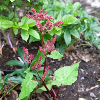 Rheum acuminatum - himalayarabarber