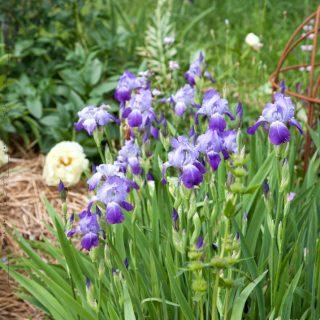 Iris germanica cultivar