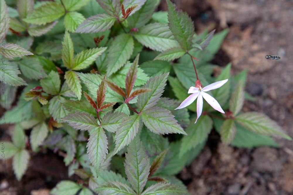 nice-to-have - Gillenia trifoliata 'Pink Profusion' - gillenia