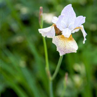 Iris sibirica 'Salamander Crossing'