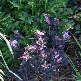 Geranium pratense 'Black Beauty'