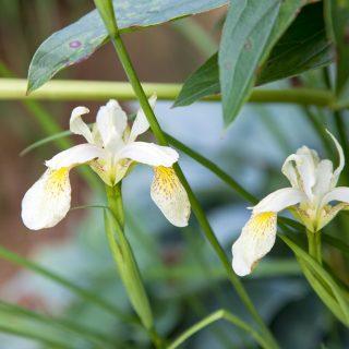 Iris forrestii -  citroniris