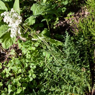 Filipendula vulgaris 'Multiplex' - brudbröd