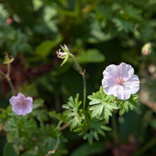 Geranium 'Apfelblüte'
