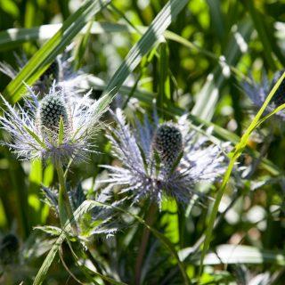 Eryngium alpinum - alpmartorn