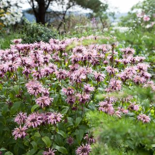 Monarda 'Beauty of Cobham' - temynta