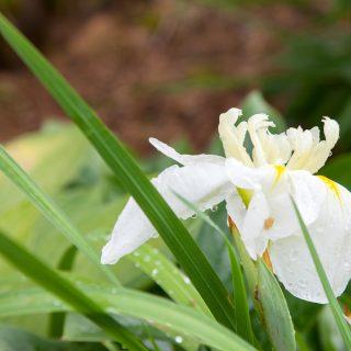 Ensata hybrider - Iris ensata 'Ling' - japansk iris