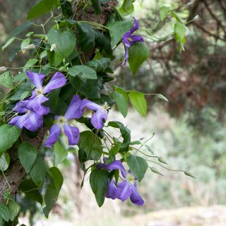 Spaljéer - klätterstöd - pergolor - Clematis viticella 'Jenny', viticellaklematis
