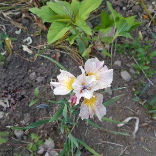 Iris sibirica 'Lemon Veil'