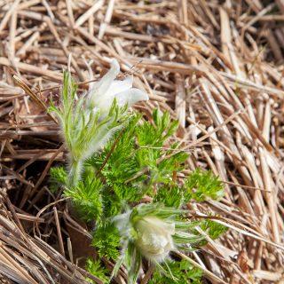 Pulsatilla vulgaris 'Alba' - backsippa