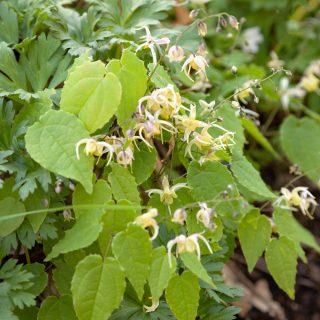 Epimedium seedling - okänd korsning