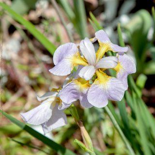 Iris sibirica 'Ama no han'
