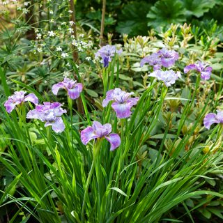 Iris sibirica 'Plum Frolic'