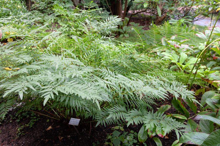 Trädgårdsbesök med ormbunkstema - Osmunda lancea