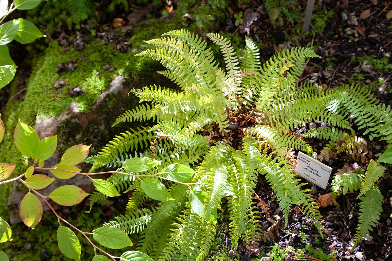 Woodsia polystichoides - asiatisk hällebräken
