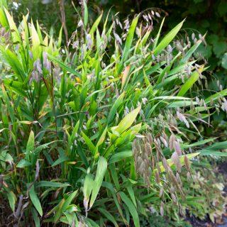 Chasmanthium latifolium - droppax