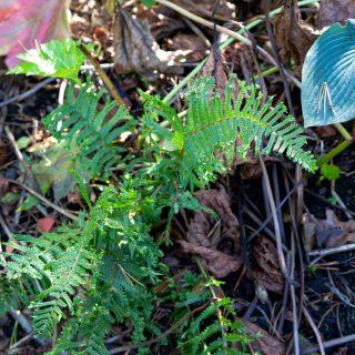 Dryopteris affinis 'Cristata' - raggträjon
