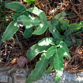 Dryopteris sieboldii - halmbräken