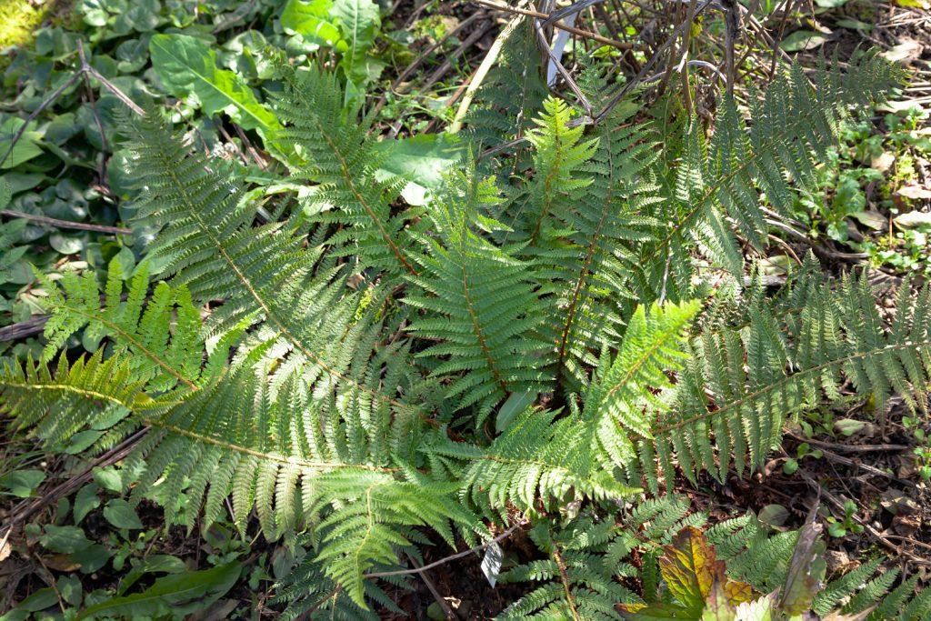 Polystichum setiferum 'Dahlem' - spetsbräken