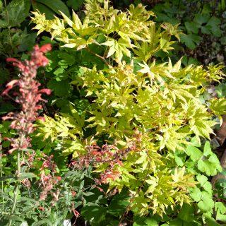 Kvarteret Droppen - Acer shirasawanum 'Autumn Moon' tillsammans med Agastache