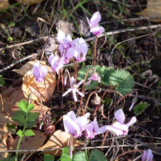 Cyclamen hederifolium - höstcyklamen