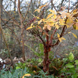 Acer griseum - kopparlönn, höstfärg