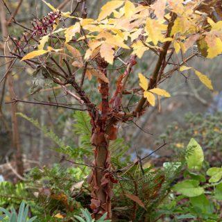 Acer griseum - kopparlönn