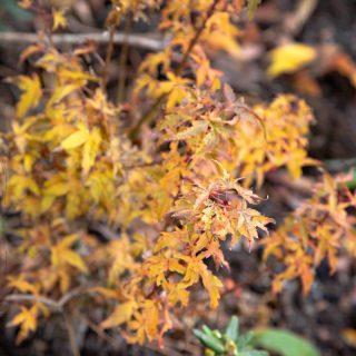 Acer palmatum 'Goshiki Kotohime' - japansk lönn höstfärg