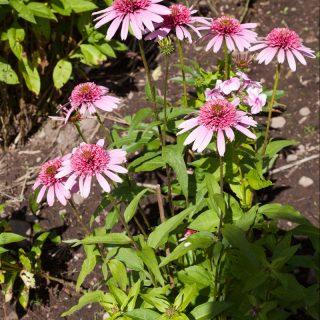 Echinacea purpurea 'Pink Double Delight' - solhatt