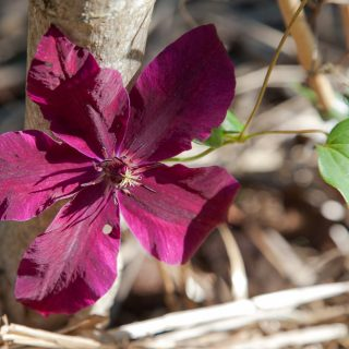 Clematis 'Huvi', klematis 'Huvi' sena storblommiga-grp