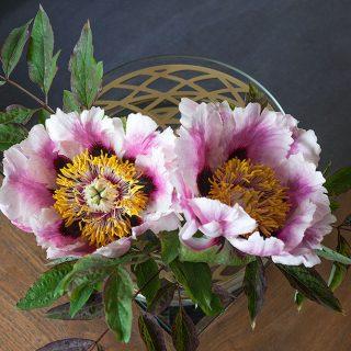Paeonia suffruticosa - buskpion