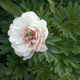 Paeonia itoh 'Canary Brilliants', itohpion 'Canary Brilliants'