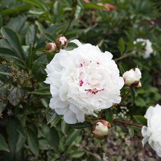 Paeonia lactiflora 'Festiva Maxima' - luktpion