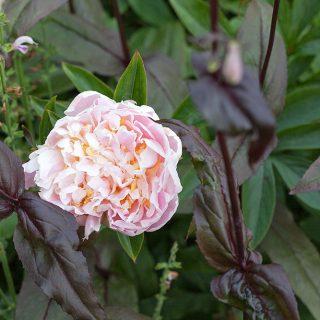 Paeonia lactiflora 'James Pillow' - luktpion