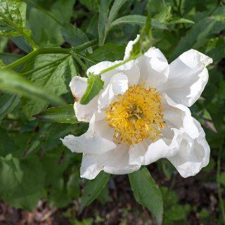 Paeonia lactiflora 'Starrkärrsvägen'