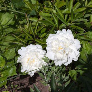 Paeonia lactiflora - unknown white