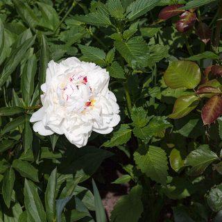Paeonia lactiflora 'Couronne d'Or' - luktpion