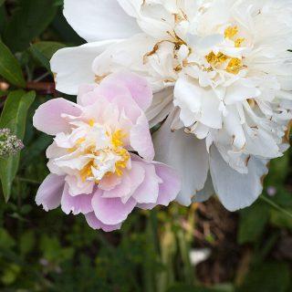 Paeonia lactiflora 'Catherine Fontayne' - luktpion