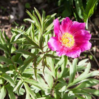 Paeonia officinalis ssp. villosa - bergpion