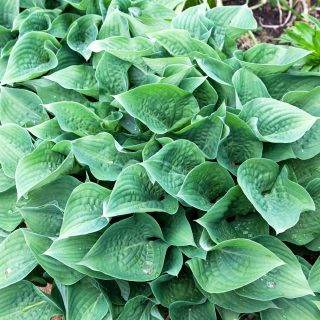 Hosta 'Candy Hearts'