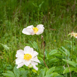 Paeonia rosa quadhybrid