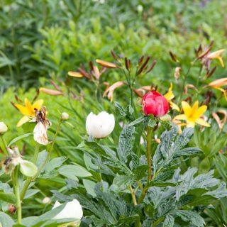 Paeonia hybr. 'Christina' - hybridpion