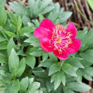 Paeonia hybrid 'Duth Dwarf' - hybridpion