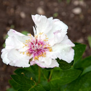 Paeonia 'Tranquil Dove'