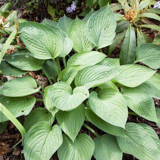 Hosta 'Hyacinthina'