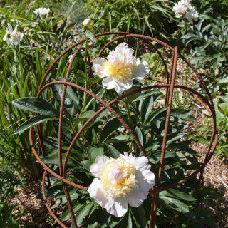 Paeonia lactiflora 'Top Brass'