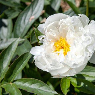 Paeonia lactiflora 'White Grace'